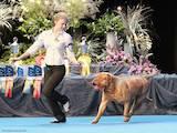 Собаки, щенята Бордоський дог, Фото