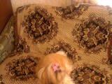 Кошки, котята Девон-рекс, Фото