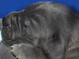 Собаки, щенята Німецький дог, ціна 6400 Грн., Фото