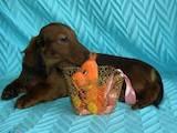 Собаки, щенки Длинношерстная такса, цена 1000 Грн., Фото