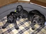 Собаки, щенята Різеншнауцер, ціна 2300 Грн., Фото