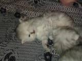 Кошки, котята Шиншилла, цена 850 Грн., Фото
