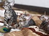 Кошки, котята Корниш-рекс, цена 1200 Грн., Фото