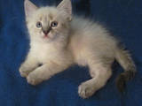 Кошки, котята Тайская, цена 400 Грн., Фото