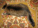 Кішки, кошенята Норвезька лісова, ціна 500 Грн., Фото