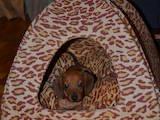 Собаки, щенки Длинношерстная миниатюрная такса, цена 400 Грн., Фото