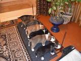 Собаки, щенята Іспанська мастіф, ціна 8000 Грн., Фото