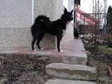 Собаки, щенята Східно-сибірська лайка, ціна 4000 Грн., Фото