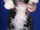 Собаки, щенки Ши-тцу, цена 2500 Грн., Фото