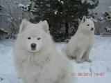 Собаки, щенки Самоед, цена 3500 Грн., Фото