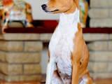 Собаки, щенки Басенджи, цена 8000 Грн., Фото