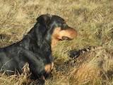 Собаки, щенята Стаффордширський бультер'єр, ціна 2500 Грн., Фото