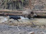 Собаки, щенки Стаффордширский бультерьер, цена 2500 Грн., Фото