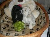 Собаки, щенята Американський коккер, ціна 1000 Грн., Фото