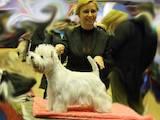 Собаки, щенки Вестхайленд уайт терьер, Фото