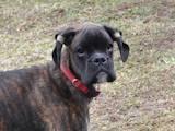 Собаки, щенята Боксер, ціна 2600 Грн., Фото