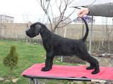 Собаки, щенята Різеншнауцер, ціна 4000 Грн., Фото