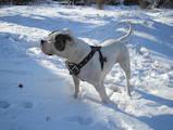 Собаки, щенки Американский бульдог, цена 3000 Грн., Фото
