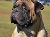 Собаки, щенки Бульмастиф, цена 6000 Грн., Фото