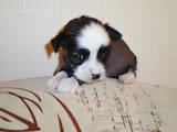 Собаки, щенята Китайська чубата собака, ціна 3500 Грн., Фото
