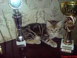 Кішки, кошенята Курильський бобтейл, ціна 1900 Грн., Фото