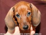 Собаки, щенки Гладкошерстная миниатюрная такса, цена 5000 Грн., Фото