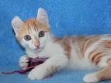 Кошки, котята Американский керл, цена 2000 Грн., Фото