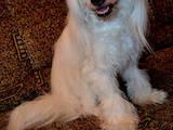 Собаки, щенки Китайская хохлатая собака, цена 1 Грн., Фото