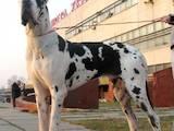 Собаки, щенята Німецький дог, ціна 5000 Грн., Фото