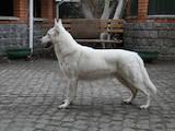 Собаки, щенки Белая Швейцарская овчарка, цена 3500 Грн., Фото