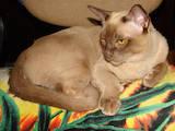 Кошки, котята Сиамская, цена 800 Грн., Фото