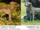 Собаки, щенки Левретка, цена 7000 Грн., Фото