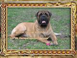 Собаки, щенята Бульмастиф, ціна 3500 Грн., Фото