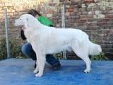 Собаки, щенята Польська підхаланська вівчарка, ціна 6600 Грн., Фото