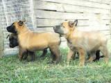 Собаки, щенята Бельгійська вівчарка (Малінуа), ціна 4800 Грн., Фото