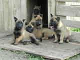 Собаки, щенки Бельгийская овчарка (Малинуа), цена 4800 Грн., Фото