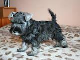 Собаки, щенки Цвергшнауцер, цена 3000 Грн., Фото
