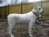Собаки, щенята Середньоазіатська вівчарка, ціна 1200 Грн., Фото