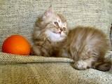 Кішки, кошенята Британська довгошерста, ціна 800 Грн., Фото