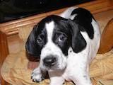 Собаки, щенки Английский пойнтер, цена 2600 Грн., Фото
