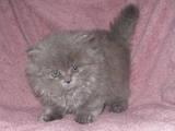 Кішки, кошенята Highland Fold, ціна 300 Грн., Фото