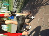 Собаки, щенята Басенджі, ціна 4500 Грн., Фото