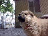 Собаки, щенки Чау-чау, цена 2300 Грн., Фото