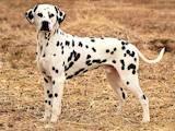 Собаки, щенята Далматин, ціна 4800 Грн., Фото