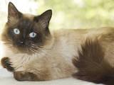 Кошки, котята Сиамская, Фото