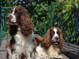 Собаки, щенята Англійська Спрінгер спаніель, ціна 5000 Грн., Фото