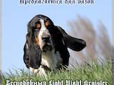 Собаки, щенята Бассет, Фото