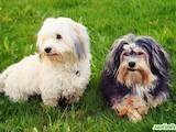 Собаки, щенята Гаванський бішон, ціна 600 Грн., Фото