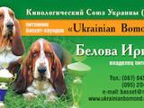 Собаки, щенята Бассет, ціна 4000 Грн., Фото
