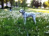 Собаки, щенки Далматин, цена 1 Грн., Фото